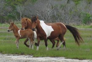 new_stallion