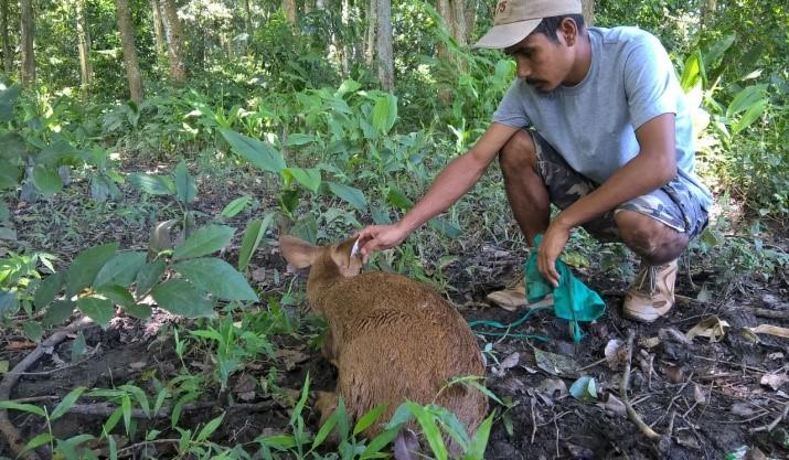 Hog Deer rescues